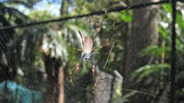 Golden Orb Weaver, Seidenspinne, Nephila