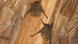 Lesser sac-winged bat, Kleine Sackflügelfledermaus, Saccopteryx leptura