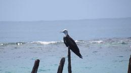 Magnificent frigatebird, Prachtfregattvogel, Fregata magnificens