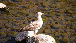 Lesser black-backed gull, Heringsmöwe, Larus fuscus