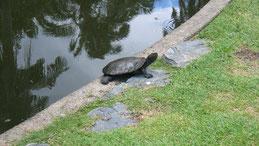 Cann´s snake-necked turtle, Canns Schlangehalsschildkröte, Chelodina canni, Brisbane