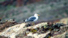 Yellow-legged gull, Mittelmeermöwe, Larus michahellis
