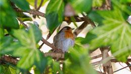 Robin redbreast, Rotkehlchen, Erithacus rubecula