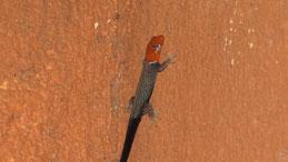 Yellow-headed dwarf gecko, Gelbkopfgecko, Gonatodes albogularis