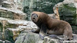 Southamerican Sea Lion, Mähnenrobbe, Otaria flavescens, Humboldt National Park