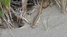 Argentine Sand Dune Lizard, Liolaemus multimaculatus