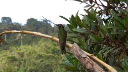 Sword-billed Hummingbird, Schwertschnabelkolibri, Ensifera ensifera