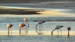 James´s Flamingo, James-Flamingo, Phoenicoparrus jamesi, Reserva Nacional Los Flamencos