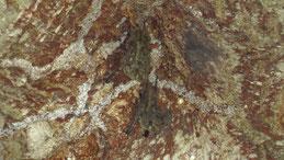 Lesser sac-winged bat, Sackflügelfledermaus, Saccopteryx leptura, Isla Ometepe