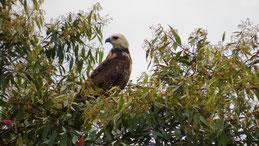 Black-collared Hawk, Fischbusard, Busarellus nigricollis