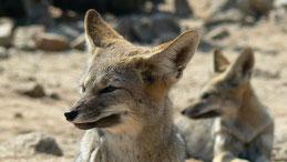 Southamerican Grey Fox, Argeninischer Kampfuchs, Lycalopex griseus, Pan de Azucar National Park