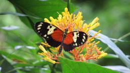 Postman Butterfly, Heliconius melpomene, Briefträgerschmetterling