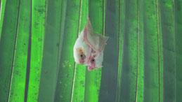 Honduran white bat, Weiße Fledermaus, Ectophylla alba