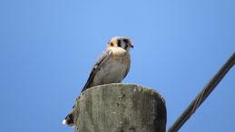 American Kestrel, Buntfalke, Falco sparverius