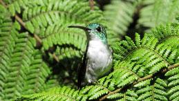 Andean Emerald, Andenamazilie, Amazilia franciae, Mindo