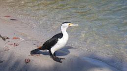 Australian pied cormorant, Elsterscharbe, Phalacrocorax varius
