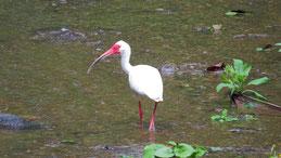 American white ibis, Schneesichler, Eudocimus albus