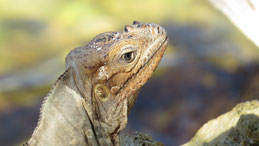 Rhinoceros Iguana, Nashornleguan, Cyclura cornuta, Laguna de Oviedo