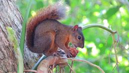 Red squirrel, Eurasisches Eichhörnchen, Sciurus vulgaris