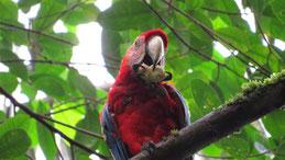 Scarlet macaw, Hellroter Ara, Ara macao