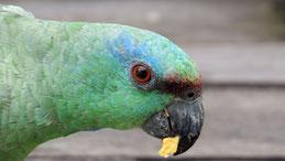 Festive Amazon, Blaubartamazone, Amazona festiva, Tayrona