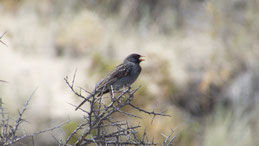 Mourning Sierra-Finch, Strauch-Ämmerling, Phrygilus fruticeti