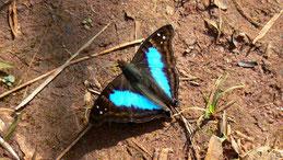 Butterlfy Argentina, Iguazu