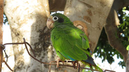 Hispaniolan Amazon, Blaukronenamazone, Amazona ventralis, Laguna de Oviedo