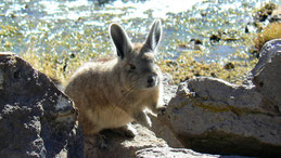 Vizcacha, Viscacha, Lagostomus maximus, Lauca National Park