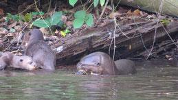 Giant Otter, Riesenotter, Pteronura brasiliensis, Manu National park