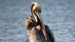 Brown Pelican, Braunpelikan, Pelecanus occidentalis, Paracas