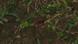 false fer de lance, Krötennatter, Xenodon rabdocephalus