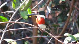Amazon kingfisher, Amazonasfischer, Chloroceryle amazona
