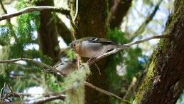 Madeira chaffinch, Madeira Buchfink, Fringilla coelebs maderensis