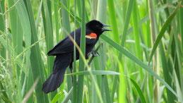 Red-winged blackbird, Rotflügelstärling, Agelaius phoeniceus