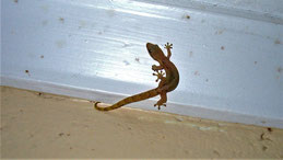 Asian house gecko, Asiatischer Hausgecko, Hemidactylus frenatus