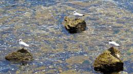 Snowy-crowned Tern, Weißscheitelseeschwalbe, Sterna trudeaui