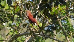 Squirrel cockoo, Eichhörnchenkuckuck, Piaya cayana