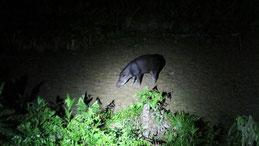Southamerican Tapir, Flachlandtapir, Tapirus terrestris, Manu National park