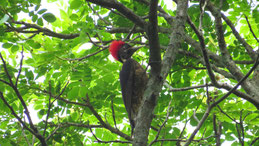 Lineated Woodpecker, Linienspecht, Dryocopus lineatus