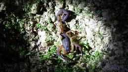Striped bark scorpion, Rindenskorpion, Centruroides margaritatus