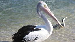 Australian Pelican, Brillenpelikan, Pelecanus conspicillatus