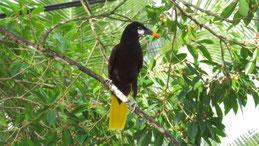Montezuma oropendola, Montezumastirnvogel, Psarocolius montezuma