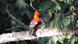 Andean Cock-of-the-Rock, Andenklippenvogel, Rupicola peruvianus
