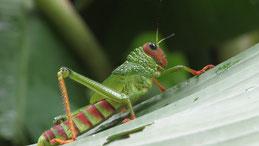 Green Locust, Grüne Heuschrecke, Panama