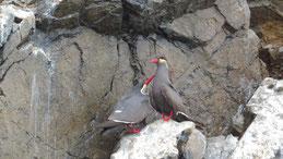 Inca Tern, Inkaseeschwalbe, Larosterna inca, Islas Ballestas
