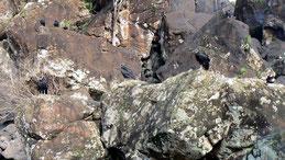 Black vulture, Rabengeier,  Coragyps atratus