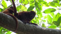 Venezuelan Red Howler Monkey, Roter Brüllaffe, Alouatta seniculus