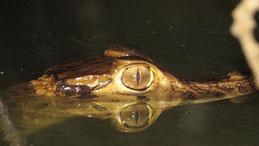 Spectacled Caiman, White Caiman, Krokodilkaiman, Caiman crocodilus