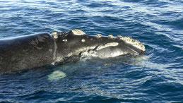 Southern right whale, Südkapper, Eubalaena australis